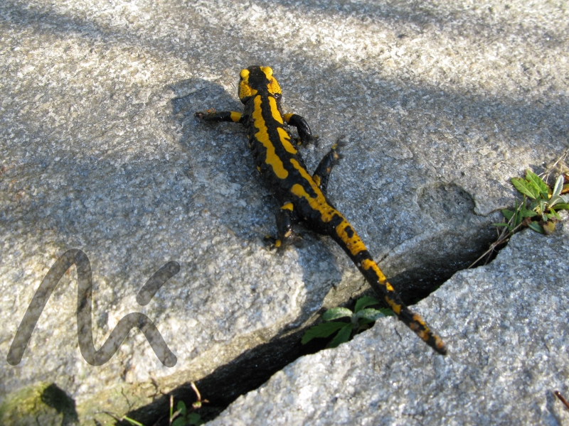 Salamander_1.JPG